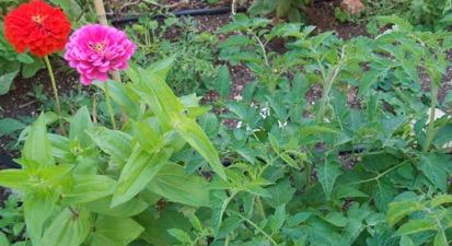 Conveniente asociaci n de hortalizas en el huerto for Asociacion de cultivos tomate