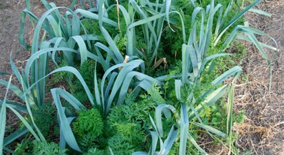Conveniente asociación de hortalizas en el huerto